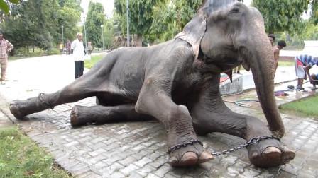 这头大象被铁链囚禁了五十年,获救之后,做出的事让人不敢相信