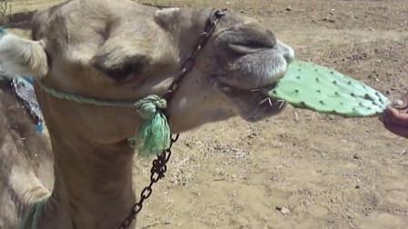 为什么骆驼那么爱吃带刺的仙人掌?不怕扎嘴吗?切开之后恍然大悟