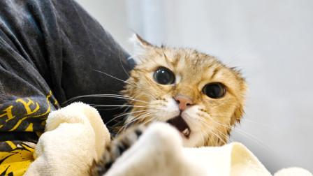 半岁小猫第一次洗澡,途中从浴缸逃脱5次,被抓回来后气得直骂人!
