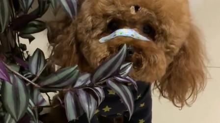 主人說了泰迪米米一句,它就對著花撒氣,這狗脾氣太大啦!