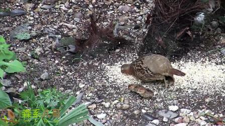 野生竹鸡带着小竹鸡出来觅食了,给它们撒上了一点粮食