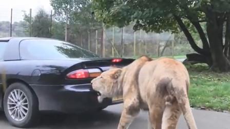 狮子一口咬住车尾,车主一脚踩动油门,意外的画面出现了