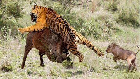 野猪王为保护同伴与东北虎搏斗,战斗场面极其激烈,镜头记录全过程