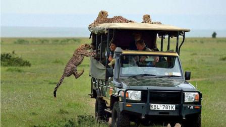 野生公园自驾游,一家三口下车拍照遭豹子袭击,好在车子离得近!