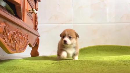 一个对世界充满好奇的小奶狗,太可爱了