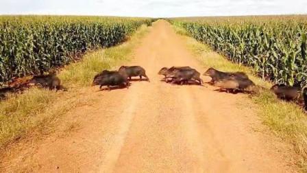 国外的野猪泛滥,看看被惹怒的老外怎么抓的?网友:喊中国吃货来