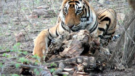 """印度一只母老虎一战成名,秒杀4米长巨鳄,被誉为""""老虎女皇"""""""