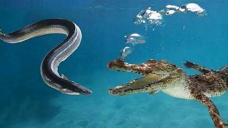 鳄鱼大战电鳗,鳄鱼一口咬住电鳗要害,自己却再也没有机会松口了