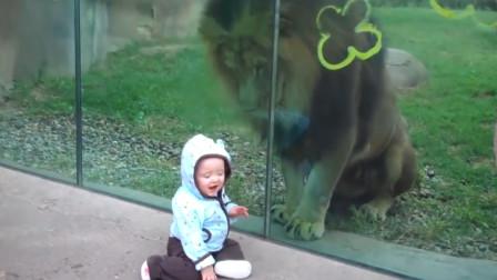 狮子兽性大发偷袭宝宝,结果宝宝一回头,狮子的反应太逗了