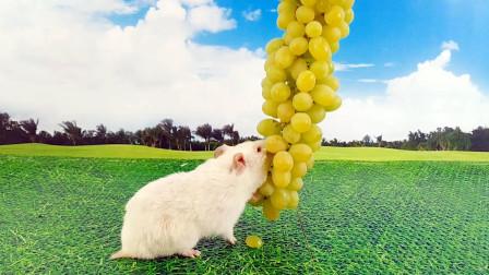 给仓鼠准备比它还大的葡萄吃,小仓鼠:真甜,太好吃了