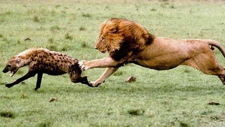 鬣狗正专心享用美食,却不料雄狮突然扑过来,下一刻鬣狗悲剧了!