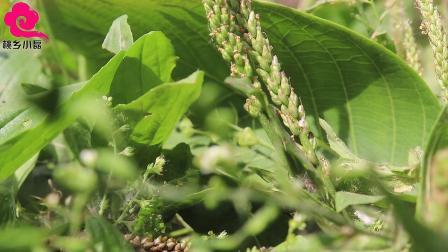农村常见的草药车前草,不仅能做美食,药用价值也很高