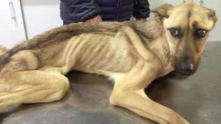 狗狗被关5年无人知晓,被救出来时,瘦成皮包骨路都走不稳了