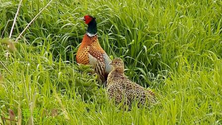 正宗公野鸡的啼叫声,把母野鸡也吸引过来了
