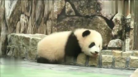 熊猫:熊猫宝宝爬水池,软萌软萌的小屁屁太可爱,可爱到让人无法呼吸