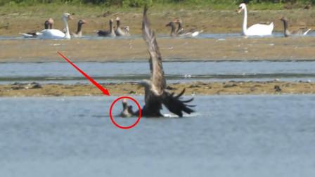 老鹰飞到水面捕鹅,本以为坐享美食,不料差点把自己搭了进去