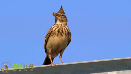 很多人喜欢百灵鸟的叫声,这次终于拍到了,一起听听!
