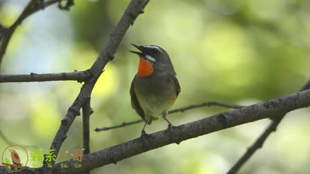 野生红点颏的叫声,这种鸟又名红喉歌鸲、红脖