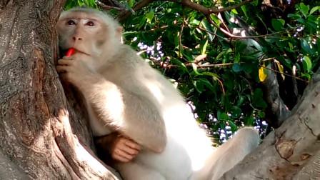 游客丢给猴子一个朝天椒,猴子吃掉后当场发飙,镜头记录下过程