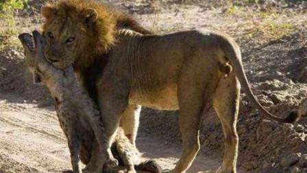 被鬣狗撕咬后,狮子展开复仇活动,将鬣狗咬死扔在了老窝示众!