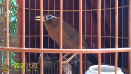 画眉鸟悠然唱歌,美妙的歌声带走了我的烦恼