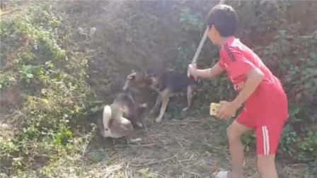德牧和土狗打架,咬住脖子死不松口,世界第一猛犬也不过如此