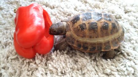 世上最辣的死神辣椒,被乌龟吃掉后,瞬间达到龟生巅峰