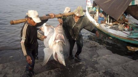 被人类割掉鱼翅的鲨鱼,放回海中还能活多久?镜头记录下了全过程