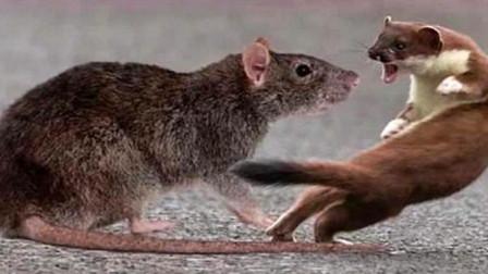 大老鼠偶遇黄鼠狼,空有一身肥肉却毫无招架之力,镜头拍下全过程