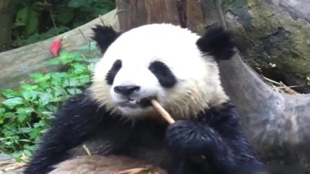 大熊猫:我是一个没有感情的吃货,吃的满头大汗,皮套都湿了