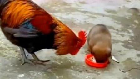 大公鸡跟狗狗抢饭吃,不料下一秒狗子急眼了,镜头拍下搞笑一幕