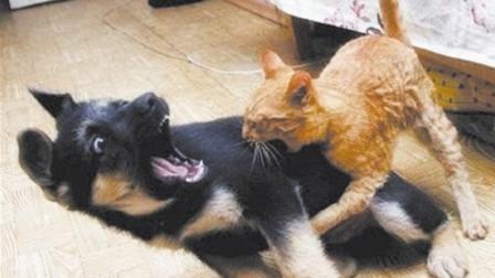 1猫战5狗,猫咪战斗力爆发,狗狗瞬间被打趴下