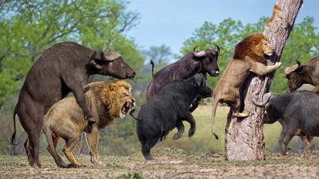 狮子偷袭小野牛,不料却遭到野牛疯狂追杀,被折磨致死!