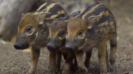 """非洲当地""""红猪""""泛滥,人们苦不堪言,中国吃货:身在福中不知福啊!"""