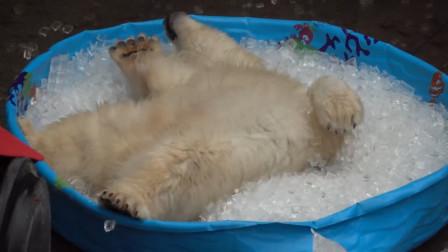 动物园中的小北极熊,第一次见到冰块,立马便一发不可收拾!