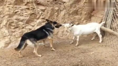 羊和狗狗打架,羊顶它,狗狗就咬它腿,最后谁会赢呢