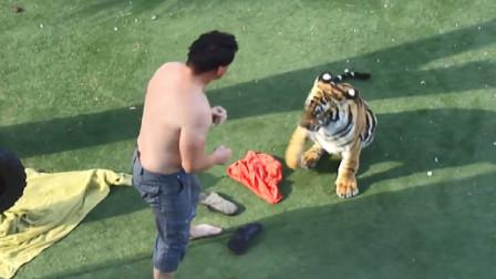 男子醉酒和老虎较量,场面非常激烈,饲养员都吓坏了