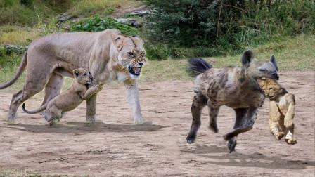鬣狗咬死狮子幼崽,狮子疯狂复仇将鬣狗一窝端,场面十分激烈