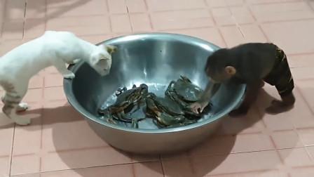 主人在地上放了一盆螃蟹,猴子好奇上前摸摸,猴子的反应亮了