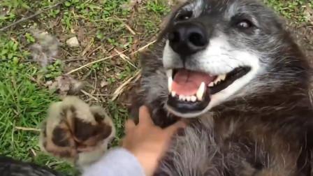 女子在野外碰到一头狼,将其一顿揉搓,接下来差点笑岔气!