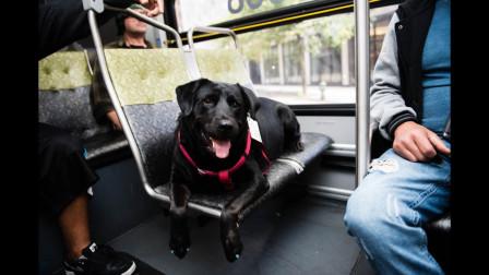 狗狗每天坐公交遛自己,上车还知道刷卡!这操作我算是服了!