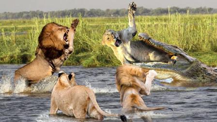 两只狮子过河,被鳄鱼一口爆头,精彩画面不容错过