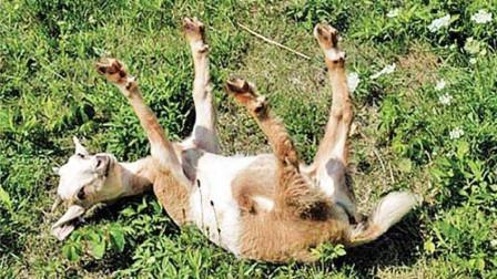 世界上最胆小的羊,每天都被自己吓晕,网友:戏精本身了!