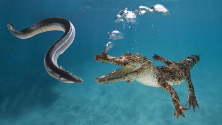 鳄鱼阴沟里翻船,本以为是送上门的美食,没想到是最后的晚餐