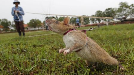 全球最值得敬佩的老鼠,每年拯救上万人,冒着生命危险保护人类!