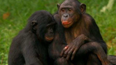 母猩猩公然索吻,雄猩猩还不答应!母猩猩一个飞扑过去