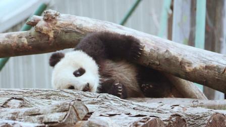 大熊猫:坏了坏了,把树给整断了,赶紧溜,要不被发现就完了