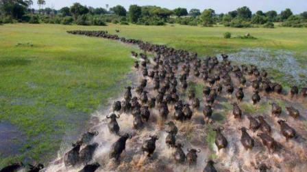 狮子刚把一只水牛扑倒,牛王就带领80个兄弟赶来,为兄弟报仇