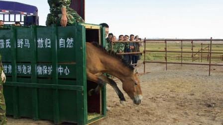 比大熊猫还稀有!在中国绝迹后又失而复得,如今成世界最大拥有国
