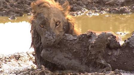 野牛失足陷入泥潭,狮子以为唾手可得,结果不料双双死亡!
